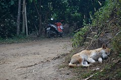 Zonk (NorthWest Express) Tags: sleeping dog thailand southeastasia adventure explore jungle thai pup dogd