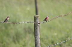 Linotte mlodieuse (loudz57220) Tags: bird nature animals canon wildlife tamron oiseau 70d commonlinnet linottemlodieuse 150600 linariacannabina