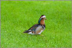 Mandarijneend (pietplaat) Tags: pietplaat vogels segbroeklaan denhaag mandarijneend