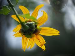 Flower against the fog_c (gnarlydog) Tags: flower yellow flora bokeh australia backlit creamy shallowdepthoffield vintagelens adaptedlens cinelens kodakanastigmat63mmf27