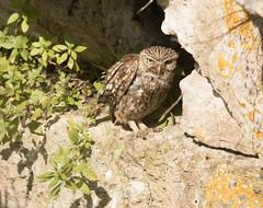 Little Owl (chitsngiggles) Tags: portlandbill nature wildlife littleowl owl owls