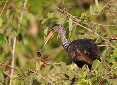 Caro / Limpkin (anacm.silva) Tags: wild brazil naturaleza bird nature birds brasil wildlife natureza aves ave matogrosso pantanal caro limpkin aramusguarauna transpantaneira