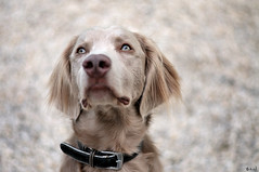 Sweet Narwen (Emilie.W) Tags: dog look animal weimar long sweet weimaraner poil braque douceur