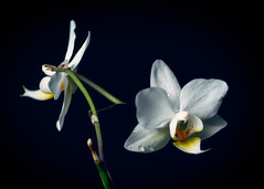 Vit orkid (Ludwig Srmlind) Tags: stilllife white plant black flower art floral blackbackground fineart backround