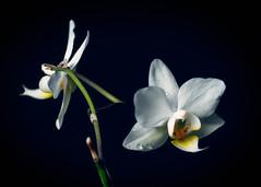 Vit orkidé (Ludwig Sörmlind) Tags: stilllife white plant black flower art floral blackbackground fineart backround