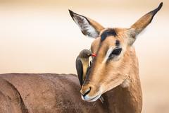 """You know what your problem is?"" (Willievs) Tags: wildlife ngc impala krugernationalpark knp redbilledoxpecker buphaguserythrorhynchus specanimalphotooftheday specanimaliconofthemonth"