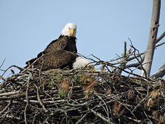 eagle195 (GWP Photography) Tags: bird animal nikon nest eagle outdoor pennsylvania adler baldeagle pa coolpix eaglesnest aquila orel águia aigle waynecounty águila 老鷹 orzeł milanville örn nestingpair נשר ワシ орел عقاب upperdelawareriver αετόσ waynecountypa coolpixp600 אָדלער eaglenestingpair