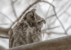 Great horned owl (jgmanwar) Tags: nature wildlife idaho owl greathornedowl