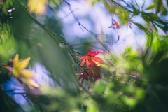 ~ Seasonal Colors ~ (Flick Vlooi) Tags: autumn red green fall nature colors leaves yellow maple colorful seasons bokeh seasonal foliage change