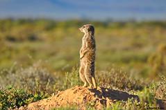 DSC_8358 (martin-kalus.de) Tags: southafrica meerkat tour adventure wildanimals erdmnnchen oudtshoorn 2015 dezeekoe mkmeerkats martinsmeerkat