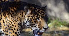 Jaguar (tracyafoster) Tags: animals bigcat jaguar lazoo mammals pantheraonca