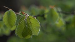 Lentegroen (nikjanssen) Tags: nature leaves spring groen bokeh lente beech beuk bokehlicious vanagram