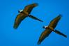 "Hyacinth Macaw <a style=""margin-left:10px; font-size:0.8em;"" href=""http://www.flickr.com/photos/41134504@N00/17161544750/"" target=""_blank"">@flickr</a>"