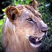 Tsavo Lion, famed for The Man-eaters, Tsavo National Park, Kenya