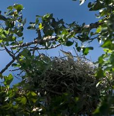 Great Blue Heron on Nest (wordster1028) Tags: bird wildlife greatblueheron