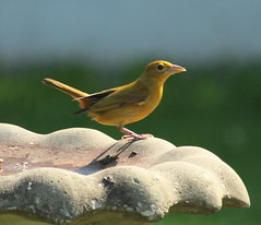 IMG_5677-1 Summer Tanager (John Pohl2011) Tags: bird canon john 100400mm pohl perching t4i 100400mmlens canont4i