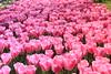 _MG_4451 (Gökmen Kımırtı) Tags: flower tulip 2015 emirgan laleler
