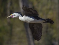 Large Pied Cormorant (brie321) Tags: cormorant pied