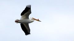 American White Pelican, Fond Du Lac MN, 04/28/15 (TonyM1956) Tags: tonymitchell duluth stlouiscounty minnesota nature birds fonddulac pelicans americanwhitepelican sonyphotographing sonyalphadslr