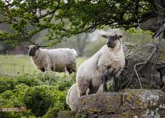 2015-04-30 Trim 082708.jpg (Michal Baran) Tags: ireland nature sheep trim wwwbaranphotographycom michalbaran wwwfacebookcommichalbaranphotography
