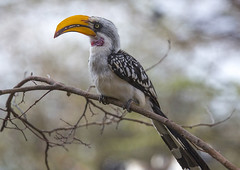 Yellow-billed Hornbill Sitting On A Branch, Samburu County, Samburu National Reserve, Kenya (Eric Lafforgue) Tags: africa tree bird nature animal horizontal outdoors photography day branch sitting kenya wildlife nobody nopeople hornbill eastafrica animalsinthewild oneanimal yellowbilledhornbill colorimage acaciatree animalthemes samburunationalreserve colourimage focusonforeground colourpicture samburucounty kenya201412418