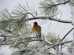 May 10, 2015 - A robin tries to stay warm amid fresh snow. (Janice Koch)