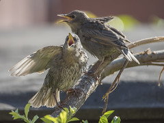 Feed Me, Feed Me !!! (Osgoldcross Photography) Tags: food spring nikon raw feeding beak feathers young starling chick demanding springtime plumage fledgeling fledge youngstarling nikond810 starlingyoung