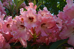 Tahitian Dawn (David A's Photos) Tags: flowers dawn bc columbia convention british ars sidney rhododendrons tahitian 2015 rhodies may2015