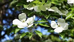 IMG_0070 (jnshaumeyer) Tags: arboretum dogwood usnationalarboretum