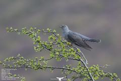 Cuckoo (Thomas Winstone) Tags: wild bird nature birds wales wildlife feathers feather aves breconbeacons bbc birdsinflight moors cuckoo birdwatcher birdinflight avain birdperfect