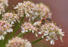 La lutte pour la survie (Meinrad Prisset) Tags: nature schweiz switzerland nikon suisse nikkor insectes d800 nikonlens swizzera araignecrabe biodiversit afsmicronikkor105mm128ed nikond800 captureone9