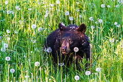 Small bear in Canada, II (oncearoundtheworld) Tags: bear park camping wild camp brown canada cute green nature grass animal eyes natural quebec wildlife small national habitat gaspesie forillon dendelion