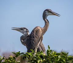 Point of View (SDRPhoto321) Tags: blue tree bird beach heron great wetland juvenille