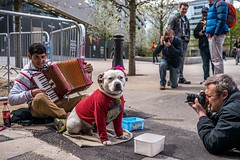Don't expect me to sing (Silver Machine) Tags: street dog men lumix photographer outdoor streetperformers streetphotography streetportrait accordion busker staffordshirebullterrier busking streetdog lumixg lumixg20mmf17 lumixg5 fujiholicsphotowalklondonmay2016