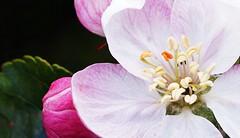 unser Apfelbaum (glaserei) Tags: blte baum frhling blten