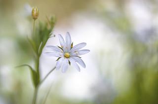 Spring Stitchwort