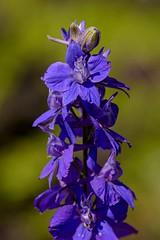 Delphinium (brev99) Tags: flowers flower bokeh delphinium woodwardpark springblossom d7100 nikviveza tamron180f35
