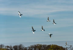 White Doves (wagga9) Tags: panning doves northfork cutchogue saltairefarms