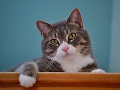 Pistache (pascal_roussy) Tags: animals cat nikon chat animaux d3100