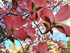 Dogwood Flowers in Downtown Boston ((Jessica)) Tags: flowers boston spring downtown blossom massachusetts newengland bloom dogwood common springtime pw