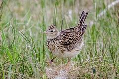 Skylark (alauda arvensis) (phat5toe) Tags: nature birds nikon wildlife feathers penningtonflash avian skylark wigan greenheart alaudaarvensis d7000 sigma150500
