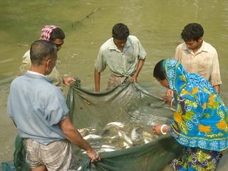Men and a woman inspecting fish harvest in Rangpur Photo Credit_ Md. Habibur Rahman, CSISA-BD, WorldFish