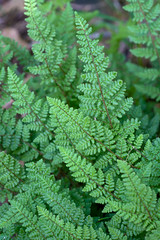 Cheilanthes lanosa (Eric Hunt.) Tags: wedding fern hair frond pteridaceae preparations trichome cheilanthes cheilantheslanosa