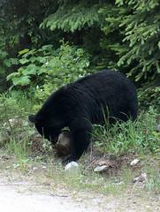 Bugaboos 2007 (ArcticCoyote) Tags: bear summer canada mountains hiking wildlife climbing alpine blackbear 2007 bugaboos purcells columbiavalley eastkootenays