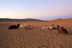 IMG_3210 (rachel_salay) Tags: africa camels zagora morrocco saharadesert desertsunrise