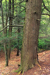 Hypsy Creek (10) (Nicholas_T) Tags: trees nature forest spring hiking pennsylvania creativecommons trunk poconos ravine coniferous monroecounty hemlocks tsugacanadensis easternhemlocks oldgrowthtree stategameland38 sgl38 needleduff hypsycreek hypsygap