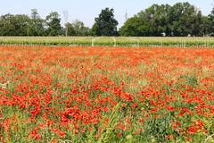 Papaveri e vigne (Aleunam69) Tags: red poppies fiori rosso papaveri panorami vigna