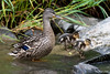Single mum (Shane Jones) Tags: bird duck nikon ducklings chicks waterfowl d500 mallardduck tc14eii 200400vr