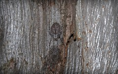 grey araneid (dustaway) Tags: winter nature australia bark camouflage nsw arthropoda arachnida orbweaver araneus araneae araneidae araneomorphae australianspiders northernrivers crypsis richmondvalley araneinae