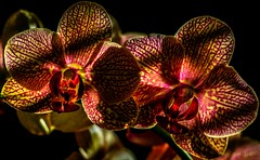 Orchid Mania (evanffitzer) Tags: slash orchid flower colour macro leaves closeup stem pattern indoor 100mm stamen veins tabletop houseplants windowlight canoneos60d